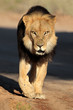 Walking male African lion, Kalahari desert