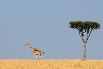 Masai giraffe and tree, Masai Mara