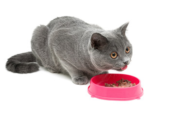 cat (breed Scottish Straight) eating food from a bowl on a white