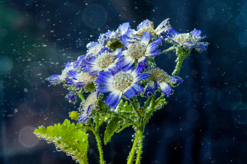 Chamomile flowers in water with bubbles on blue background