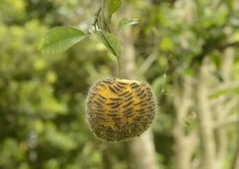 みかんに取り付くチャドクガの幼虫