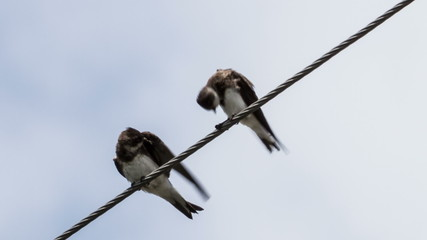 two swallows on wires clean feathers