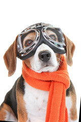 dog wearing flying glasses or goggles