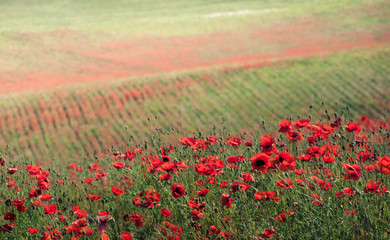 Red flowers on green meadow
