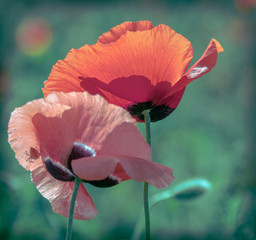 two poppy flower closeup