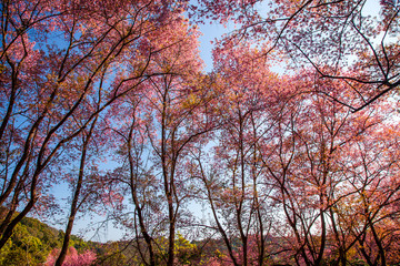 Beautiful Wild Himalayan Cherry blossom in Chiang Mai, Thailand
