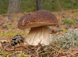 Penny bun fungus (Boletus edulis) growing in the forest.