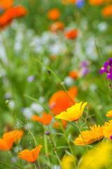 Bunte Wiese mit Ringelblumen und Mohn