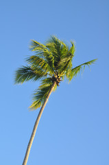 tropical palm tree against blue sky