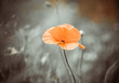 poppy flower on a wind