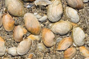 Several clam shells on a rocky beach.