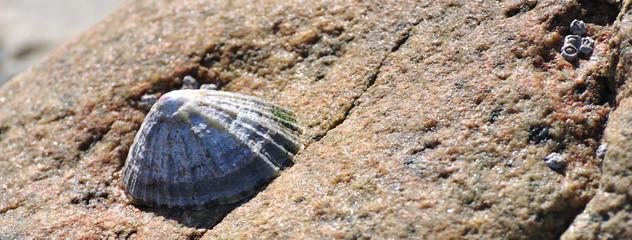 Bernique collée sur un rocher à marée basse