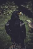 Raptor, Black eagle with yellow peak poster