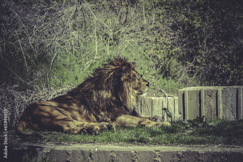 Foto op Plexiglas Krokodil Lion, Panthera leo, majestic mammal, wildlife scene
