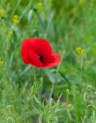 Lonely red poppy in green herbs
