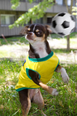Funny dog is playing soccer in park.