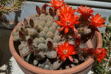 Cactus - Chamaecereus silvestri