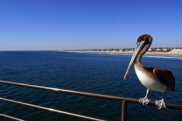 Pelican at Huntington Pier