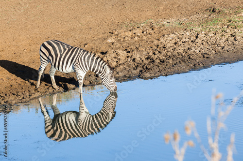 Foto op Canvas Zebra Zebra Waterhole Mirror Double Wildlife Animal