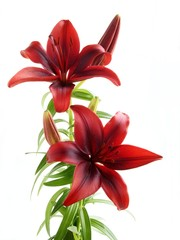 red lily isolated