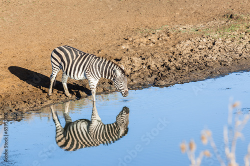 Zebra Water Mirror Reflections Wildlife Animal