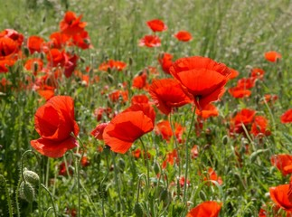 poppies on meadow