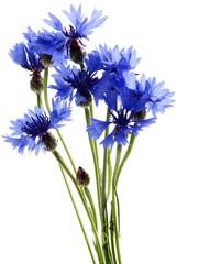 cornflowers flowers isolated