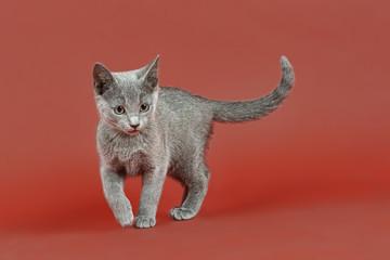 Katzen-Russisch-Blau-18013