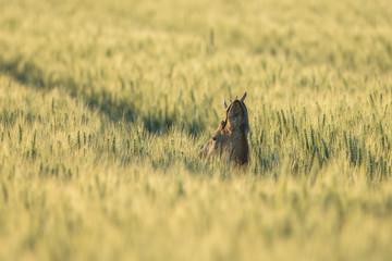 Chevreuil caché dans un champs de blé