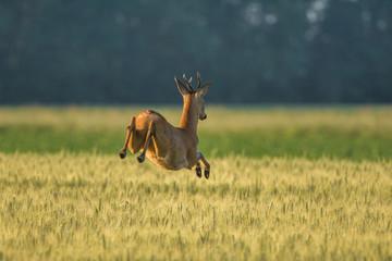 Brocard qui saute dans les champs