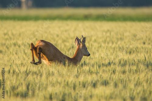 Keuken foto achterwand Ree Chevreuil qui saute dans les champs