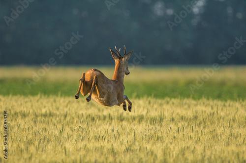 Foto op Canvas Ree Brocard qui saute dans les champs