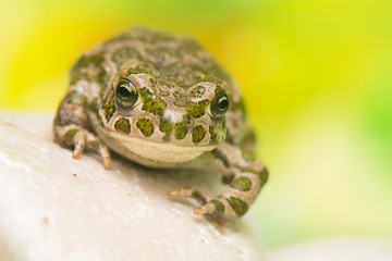 Toad - Bufotes viridis