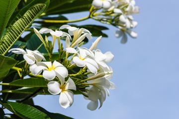 flower white frangipani