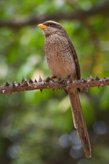 A Yellow-billed shrike (Corvinella corvina) perched on a spiky s
