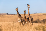 Three Giraffes Together Wildlife Animals