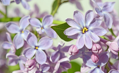 Lilac flowers close up in pastel colors