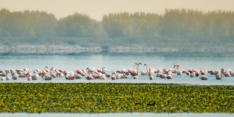 flock of flamingos in the lake landscape
