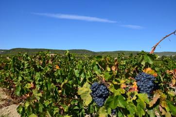 Vignes de Cassis, vin de Cassis