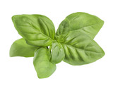 Opaque green basil leaves isolated on white background poster