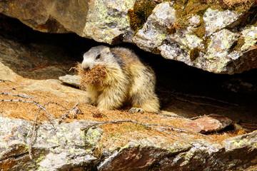 Marmotta aruffata al bordo della tana