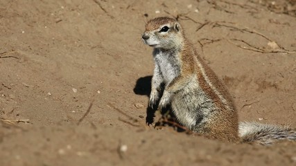 Alert African ground squirrel (Xerus inaurus)