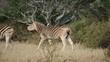Plains (Burchells) Zebras walking in the African bush