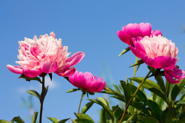 pink flowers on blue sky background