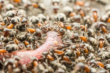 Swarm Of Ants Eating Earthworm