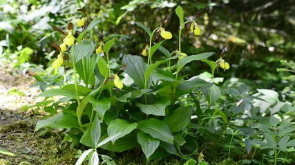 Wilde Orchideen Deutschlands, Frauenschuh