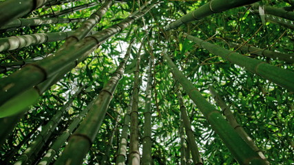 Bamboo moving in a gentle breeze. Some leaves falling down.