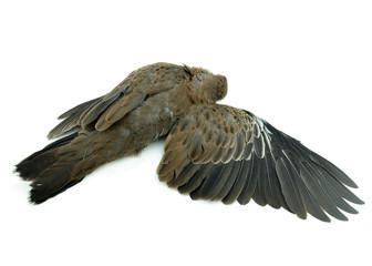 dead bird on white background