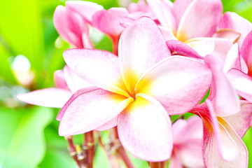 Pink Frangipani Flowers on the tree