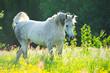White Arabian horse in the sunset light - 65970490